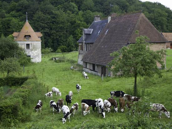 barbara-van-zanten-dairy-herd-of-brown-and-white-cows-with-farm-buildings-near-blangy-le-chateau-pays-d-auge