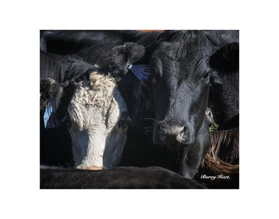 barry-hart-cows-2