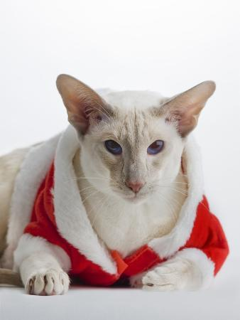 barry-lewis-siamese-cat-wearing-santa-claus-costume