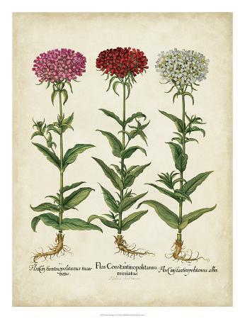 basilius-besler-besler-florilegium-iv