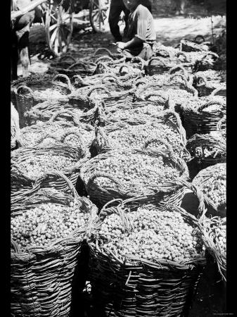 baskets-of-wine-grapes-at-richon-le-zion