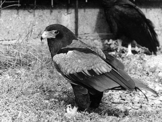 batelur-eagle