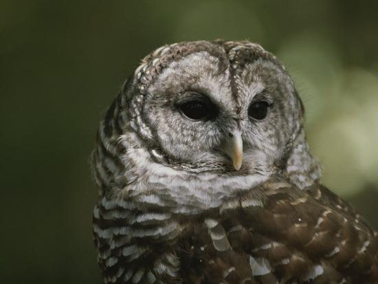 bates-littlehales-a-close-view-of-the-head-of-a-barred-owl-strix-varia