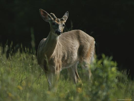 bates-littlehales-antlers-begin-to-sprout-on-a-white-tail-bucks-head