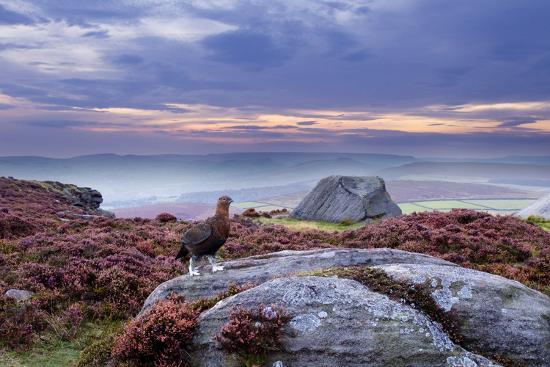 ben-hall-red-grouse-lagopus-lagopus-scoticus-on-heather-moorland-peak-district-np-uk