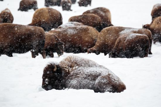 ben-herndon-snowy-bison-graze-during-a-light-snow-fall-at-yellowstone-national-park-in-winter