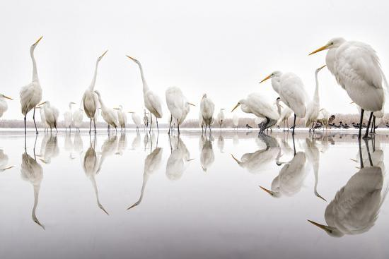 bence-mate-group-of-great-egrets-ardea-alba-reflected-in-still-water