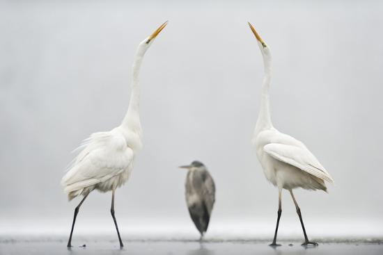 bence-mate-two-great-egrets-ardea-alba-standing-opposite-each-other-with-grey-heron-ardea-cinerea