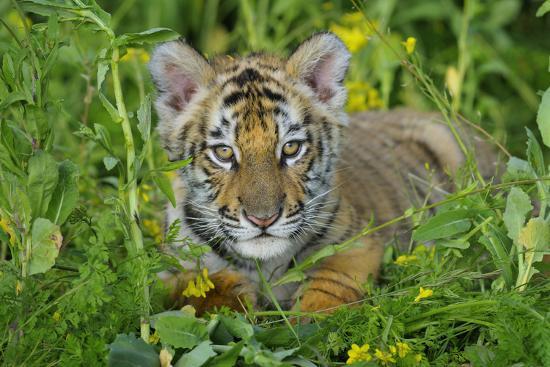 bengal-indian-tiger-cub-endangered-species