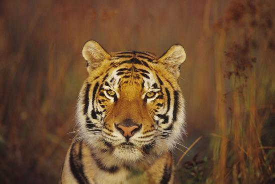 bengal-indian-tiger