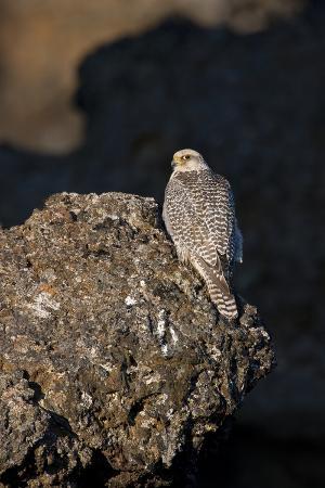 bergmann-female-gyrfalcon-falco-rusticolus-perched-on-rock-myvatn-thingeyjarsyslur-iceland-june-2009