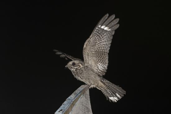 bernard-castelein-madagascar-nightjar-caprimulgus-madagascariensis-at-night-reniala-forest-mangily-madagascar