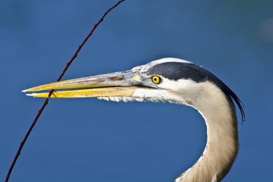 bernard-friel-florida-venice-great-blue-heron-holding-nest-material-in-beak