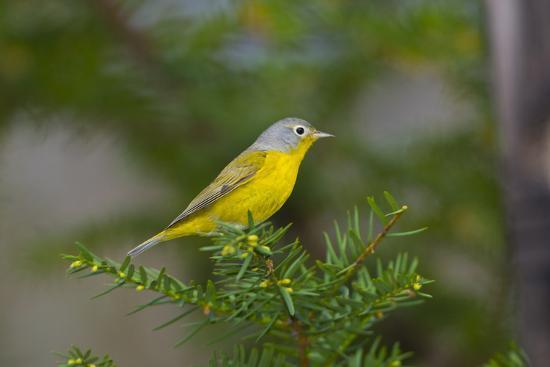 bernard-friel-minnesota-mendota-heights-nashville-warbler-perched-on-a-branch