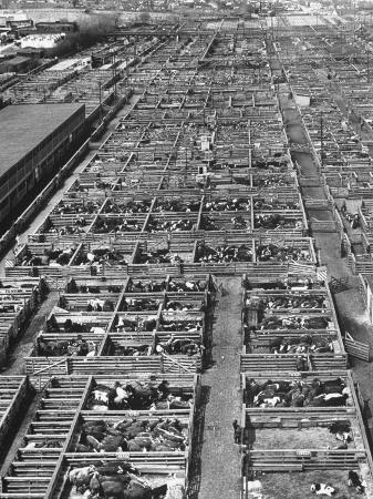 bernard-hoffman-beef-cattle-being-held-in-large-pens-at-the-union-stockyards