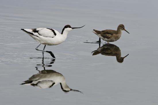 bertie-gregory-avocet-recurvirostra-avosetta-feeding-along-side-a-redshank-tringa-totanus-brownsea-island-uk