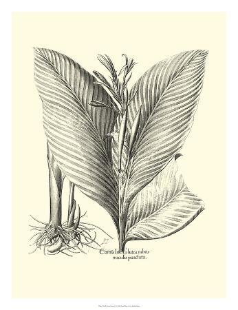 besler-basilius-besler-canna