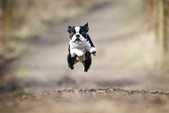 best-dog-photo-beautiful-fun-young-boston-terrier-dog-trick-puppy-flying-jump-and-running-crazy