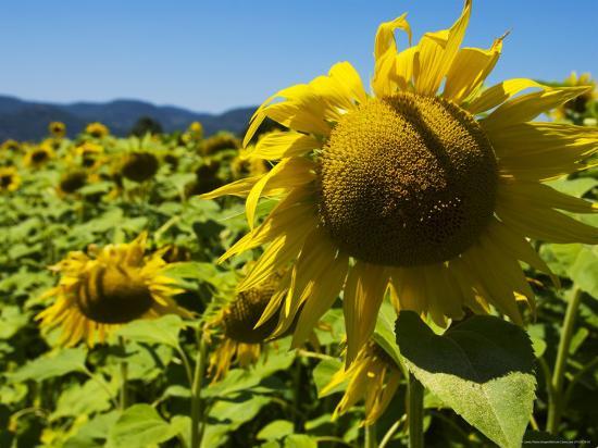 bethune-carmichael-sunflowers