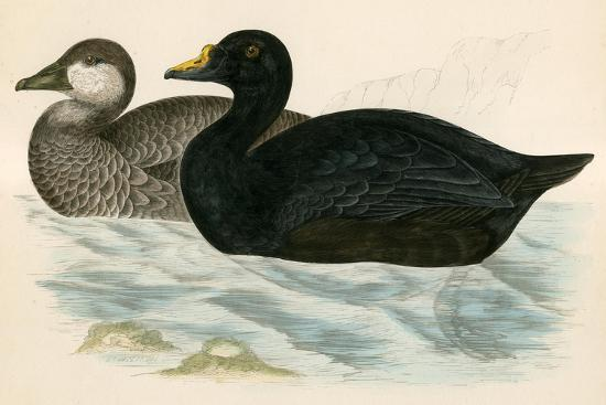 beverley-r-morris-common-scoter
