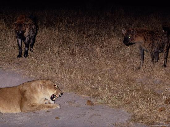 beverly-joubert-a-lioness-being-threatened-by-a-band-of-spotted-hyenas