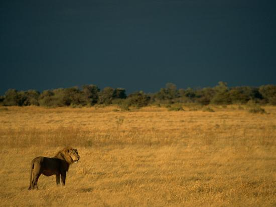 beverly-joubert-a-male-african-lion-looks-out-over-his-territory