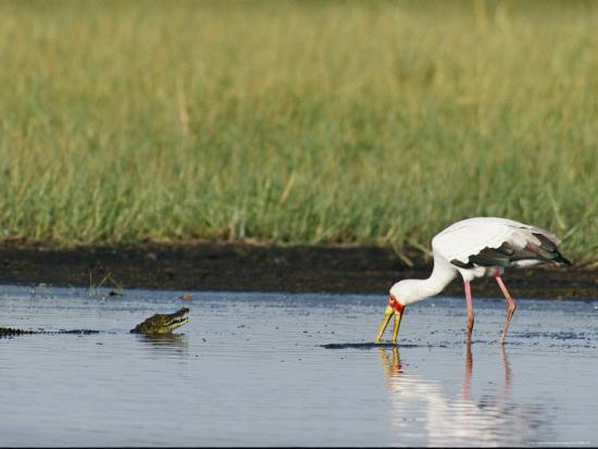 beverly-joubert-a-yellow-billed-stork-forages-in-shallow-water-near-a-small-nile-crocodile