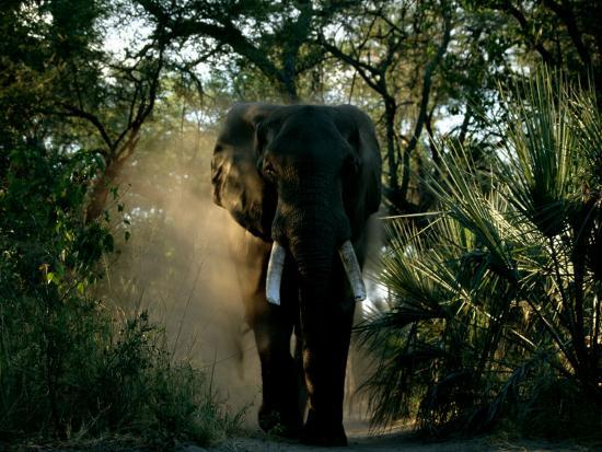 beverly-joubert-african-elephant-in-a-forest-setting
