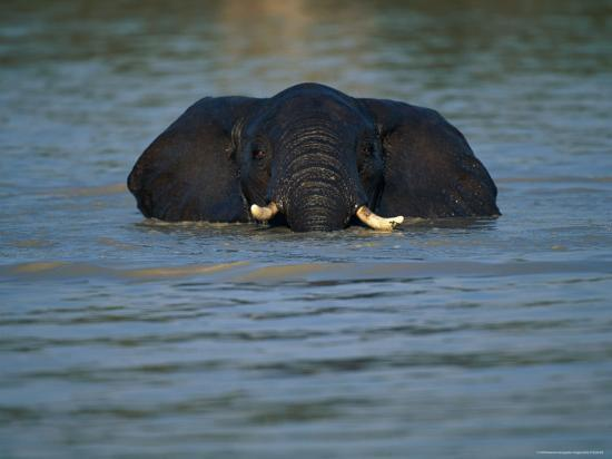 beverly-joubert-african-elephant-wading-in-the-water