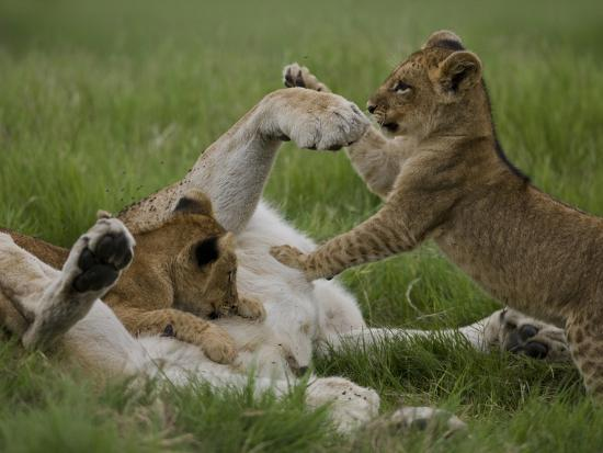 beverly-joubert-african-lion-cubs-panthera-leo-playing-with-an-adult