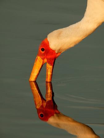 beverly-joubert-bird-with-its-beak-in-the-water