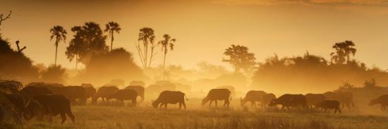 beverly-joubert-herd-of-african-buffalo-syncerus-caffer