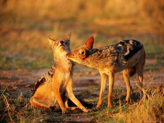 beverly-joubert-jackals-grooming