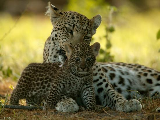 beverly-joubert-leopard-panthera-pardus-licks-a-young-cub