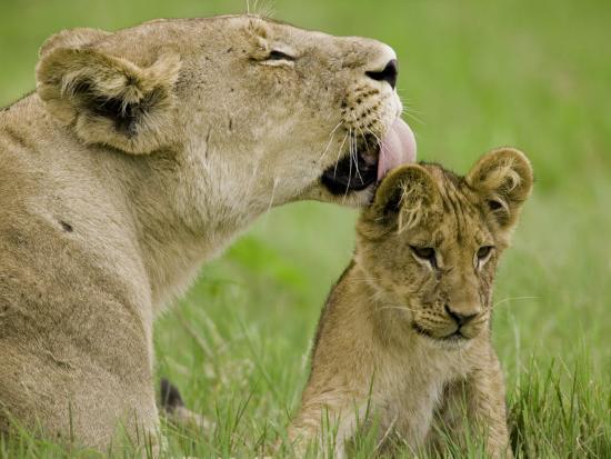 beverly-joubert-lion-cub-being-groomed-by-female-duba-okavango-delta-botswana