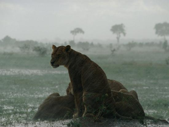 beverly-joubert-lioness-on-alert