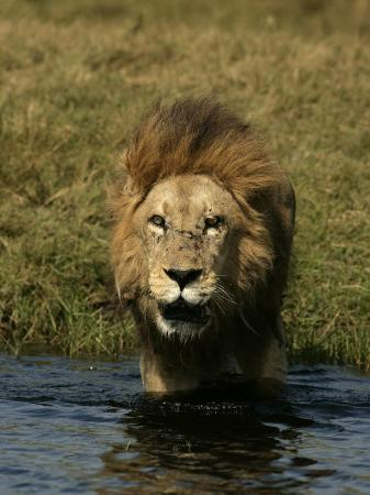 beverly-joubert-male-african-lion-panthera-leo-standing-in-water-near-the-shore-okavango-delta-botswana