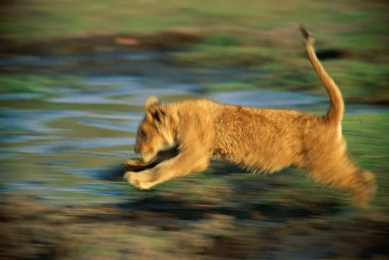 beverly-joubert-panned-view-of-a-young-african-lion-running