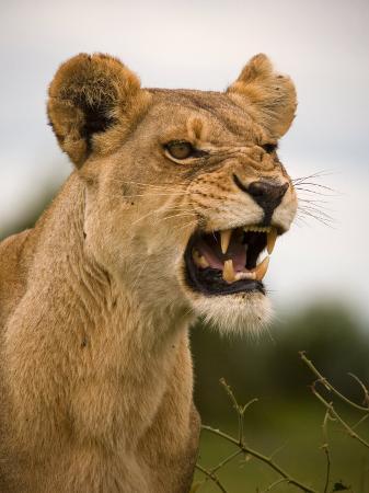 beverly-joubert-portrait-of-a-snarling-aggressive-lioness-duba-plains-okavango-delta-botswana