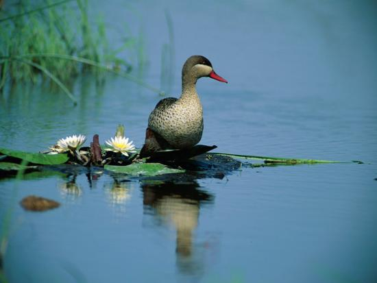 beverly-joubert-red-billed-duck-standing-on-lotus-leaves-in-a-pond