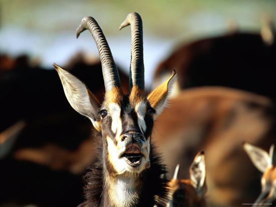 beverly-joubert-sable-antelope-vocalizing