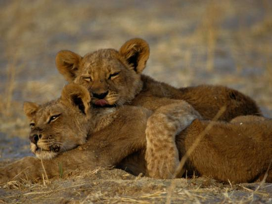 beverly-joubert-two-lion-cubs-snuggle-together-on-the-ground