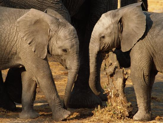 beverly-joubert-two-two-year-old-african-elephant-calves-rubbing-against-a-stump-after-a-mud-bath