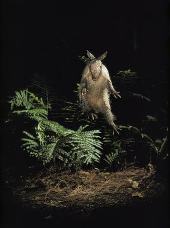 bianca-lavies-fright-reflex-propels-an-alarmed-armadillo-into-the-air-archbold-biological-station-florida
