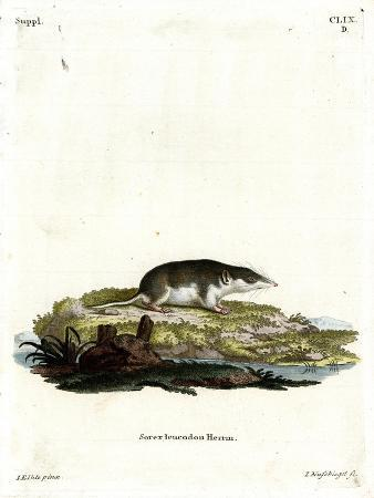 bicolored-shrew