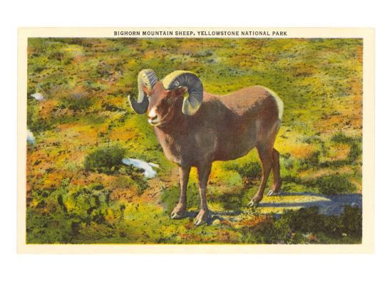 bighorn-mountain-sheep-yellowstone-national-park