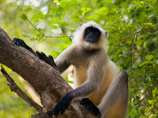 bill-bachmann-monkey-in-jungle-of-ranthambore-national-park-rajasthan-india