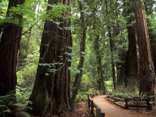 bill-bachmann-old-redwood-trees-muir-woods-san-francisco-california-usa