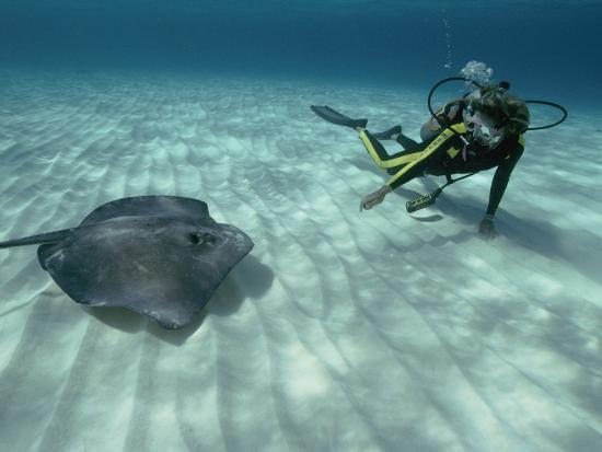 bill-curtsinger-a-diver-swims-close-to-a-southern-stingray