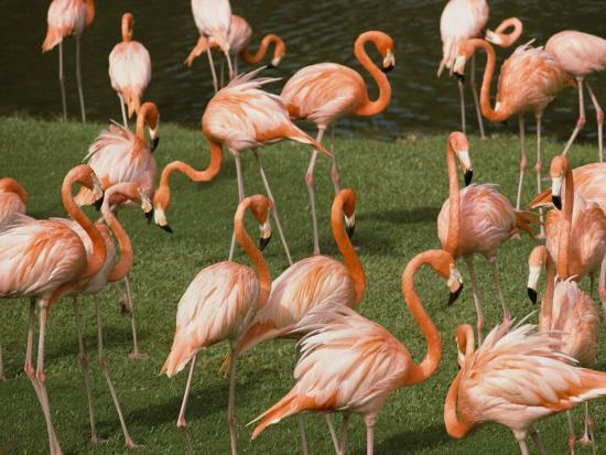 bill-curtsinger-a-flock-of-flamingos-at-the-waters-edge